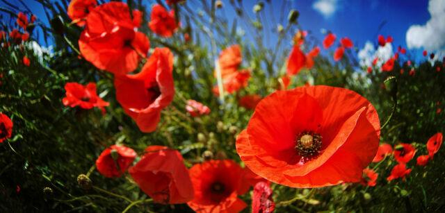 #Poppies #mohnblumen